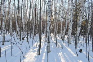CALEDON BIRCH TREES IN WINTER